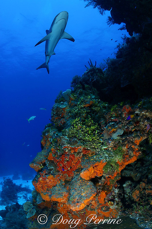 Caribbean reef shark, Carcharinus perezi, on coral reef with orange elephant ear sponges, Agelas clathrodes, Bahamas ( Western Atlantic Ocean )