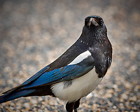 Black-billed Magpie. Rocky Mountain National Park. Image taken with a Nikon D2xs camera and 300 mm f/2.8 lens and TC-E 1.4 teleconverter (ISO 140, 420 mm, f/4, 1/250 sec).