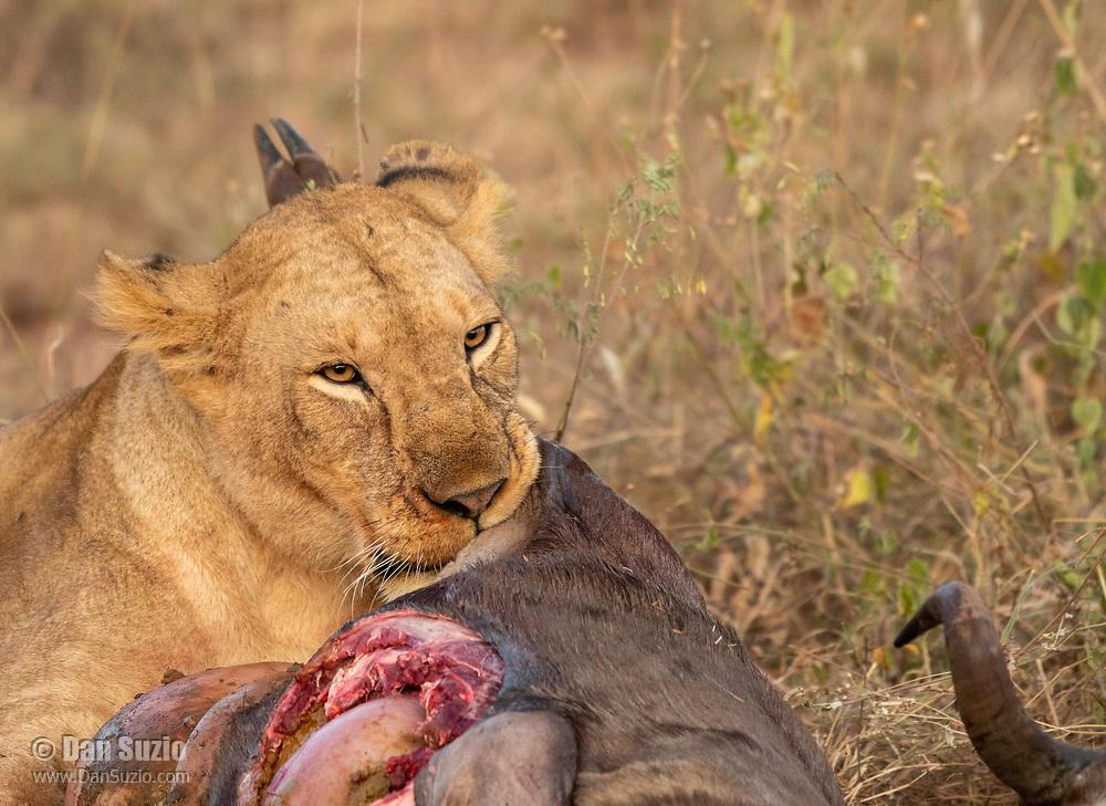 A female Lion, Panthera leo melanochaita, eats a Wildebeest, Connochaetes taurinus, in Serengeti National Park, Tanzania