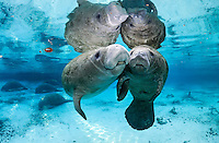 Florida manatee, Trichechus manatus latirostris, a subspecies of the West Indian manatee, endangered. A series of an adult female manatee who checks in on a male calf that is alone in the springs. There is tender tactile interaction, socialization, and evident caring. The two manatees engage in manatee touching with their flippers entwined or holding flippers. Horizontal orientation with blue water from the spring and other manatee below with reflections and sun rays. Three Sisters Springs, Crystal River National Wildlife Refuge, Kings Bay, Crystal River, Citrus County, Florida USA.