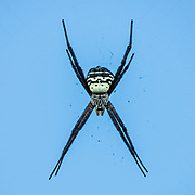A female Hawaiian Garden Spider (Argiope Appensa) waits in its web, silhuoetted against blue sky, on Awaawapuhi Trail, Kokee State Park, Kauai, Hawaii, USA. Introduced to Hawaii, the Hawaiian Garden Spider (Argiope Appensa) is found on several islands in the western Pacific Ocean from Taiwan to Guam to New Guinea. The females are strikingly black and yellow 2-2.5 inches long, while the males are brown and much smaller at 0.75 inches.