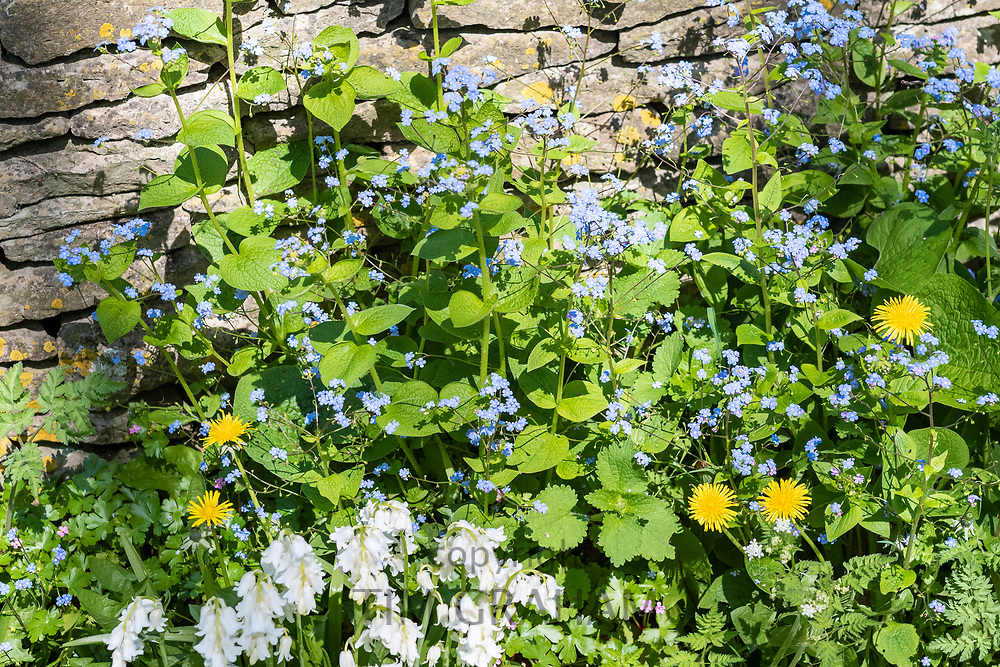 Forget Me Nots, Myosotis, white Bluebells, Hyacinthoides, and Dandelions, Taraxacum, wildflowers by Cotswold dry stone wall in Springtime in The Cotswolds, UK