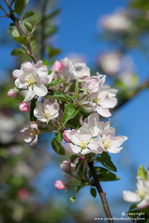 Native Crab Apple in blossom against a blue sky. Malus sylvestris