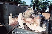 scalloped hammerhead sharks, Sphyrna lewini, in ice bin, ready to go to market, Trinidad (Caribbean Sea )