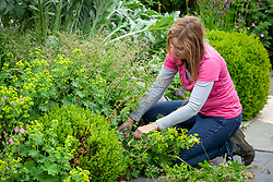 Cutting back and clearing early flowering geraniums after they have finished flowering to encourage a second flush