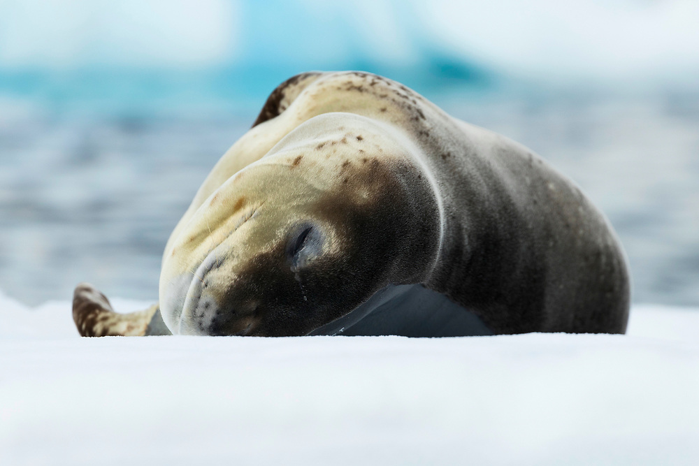 Leopard seal lays on an iceberg on Friday, Feb. 9, 2018 in Charlotte Bay, Antartica. (Photo by Ric Tapia)