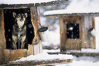 Sled dogs rest in their kennels near Jackson Hole, Wyoming.