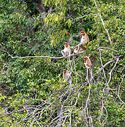 Group of proboscis monkeys (Nasalis larvatus) in Tanjung Puting National Park, Kalimantan, Borneo (Indonesia).