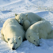 Polar Bear, (Ursus maritimus) Portrait of mother and cub resting. Hudson Bay. Churchill, Manitoba. Canada.