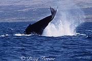 humpback whale peduncle throw or tail breach, Megaptera novaeangliae, Threatened Species, Hawaii, USA ( Central Pacific Ocean )