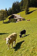 Alpine Pastures with Traditional houses and cows- Swistzerland .<br /> <br /> Visit our SWITZERLAND  & ALPS PHOTO COLLECTIONS for more  photos  to browse of  download or buy as prints https://funkystock.photoshelter.com/gallery-collection/Pictures-Images-of-Switzerland-Photos-of-Swiss-Alps-Landmark-Sites/C0000DPgRJMSrQ3U