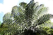 Giant fern tree in Lyon Arboretum, Honolulu, Hawaii