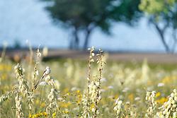Scissor-tailed flycatcher on Arkansas yucca (Yucca arkansana) in wildflower field near hike and bike path, Blackland Prairie remnant, White Rock Lake, Dallas,Texas, USA