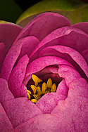 red pink water lily flower blooming in macro