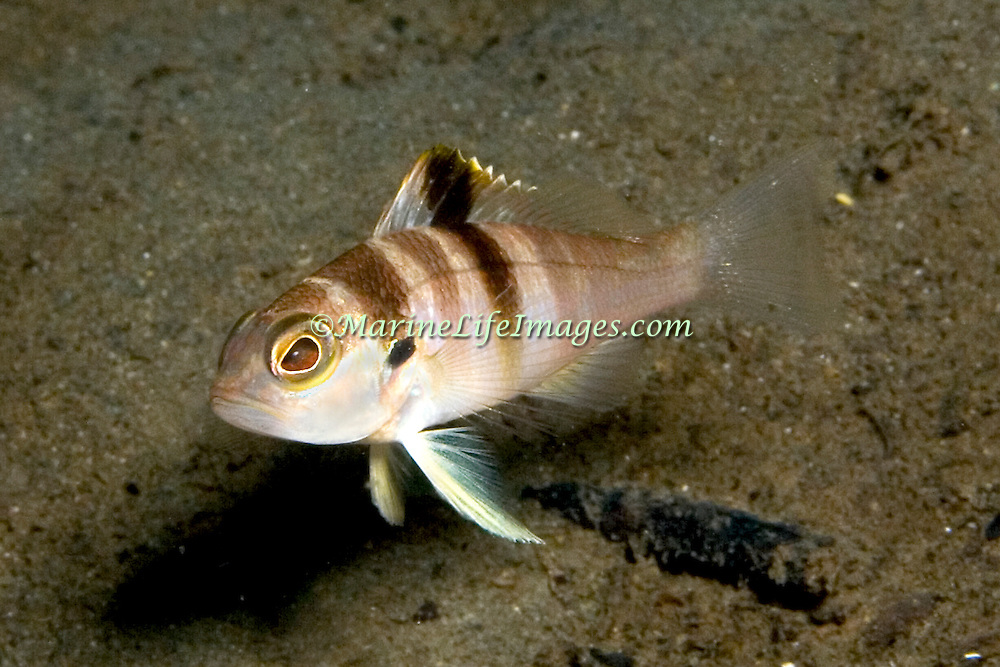 Blackear Bass inhabit sand and small rubble areas in deep water usually below 80 ft in Tropical West Atlantic; picture taken St. Vincent.