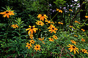 Black-eyed Susans reach for the sky on a summers day - Mississippi