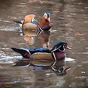 Mandarin Duck & Wood Duck, NYC, Central Park