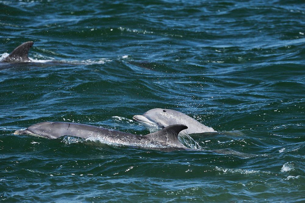 Mixed group of Bottle-nosed Dolphins surfacing,<br /> Tursiops truncatus,<br /> Moray Firth, Nr Inverness, Scotland - May