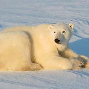 Polar Bear (Ursus maritimus) at Cape Churchill, Churchill, Manitoba, Canada