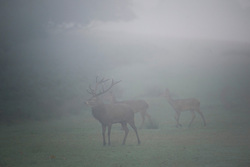 © London News Pictures. 06/10/2013. Richmond, London, UK.  A deer stag in Autumn early morning mist in Richmond Park, West London. The UK is experiencing an unusually warm start to the Autumn with temperatures reaching 20 degrees in parts.  Photo credit: Ben Cawthra/LNP