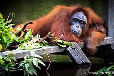 Orangutan, Kahayan River, Kalimantan
