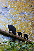 Black bear sow and cubs, Anan Creek Wildlife Viewing site, Tongass National Forest, Alaska.