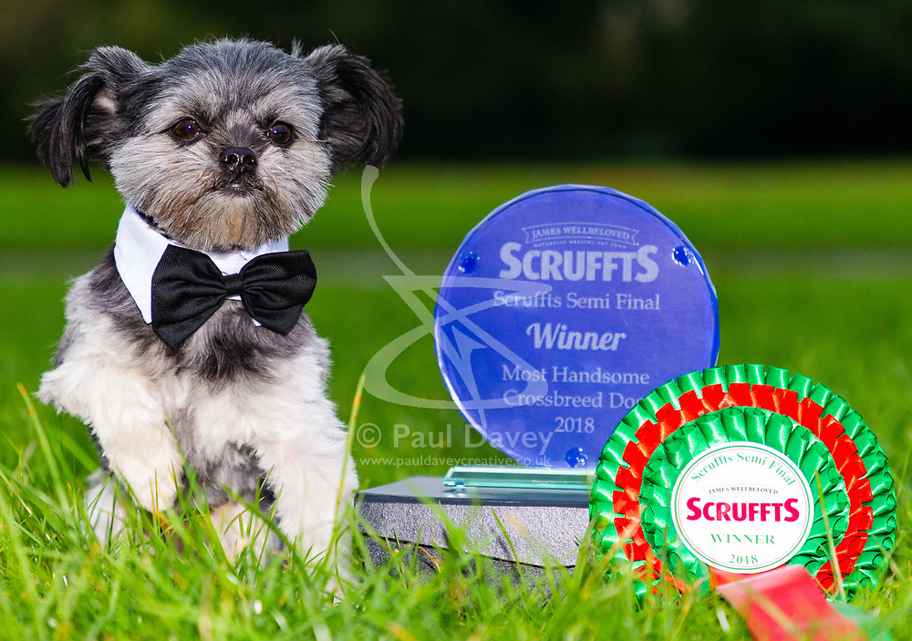 Ted, a tiny Shih Tzu-Chihuahua cross, owned by Tara Ellison, 44, and Andrew Chandley, 53 is picking up the trophies at local charity dog shows. Hornchurch, Essex, October 30 2018.