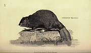 Beaver from General zoology, or, Systematic natural history Vol 2 Mammalia, by Shaw, George, 1751-1813; Stephens, James Francis, 1792-1853; Heath, Charles, 1785-1848, engraver; Griffith, Mrs., engraver; Chappelow. Copperplate Printed in London in 1801 by G. Kearsley