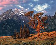 Sunrise light warms the ancient trunk of the Patriarch tree, beneath Teton Peak, in Wyoming's Grand Teton National Park.