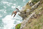 Kestrel (Falco tinnunculus) launching from clifftops. Durlston, Dorset, UK.