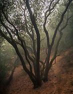 Tree in the mist, Briones Regional Park, Contra Costa County, California