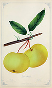 Soulard Crab Apple from Dewey's Pocket Series ' The nurseryman's pocket specimen book : colored from nature : fruits, flowers, ornamental trees, shrubs, roses, &c by Dewey, D. M. (Dellon Marcus), 1819-1889, publisher; Mason, S.F Published in Rochester, NY by D.M. Dewey in 1872