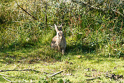 konijn, Oryctolagus cuniculus