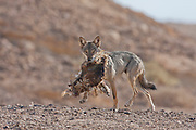 Arabian wolf (aka desert wolf Canis lupus arabs). with prey. This wolf is  subspecies of gray wolf. Photographed in Israel, Negev desert