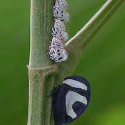 A treehopper and its young on a plant in Villa Carmen Biological Reserve near Pilcopata, Peru. The reserve is around 600 meters in elevation and includes pre-montane rainforest and lowland rainforest. It is owned by the Amazon Conservation Association and its Peruvian sister organization, La Asociación para la Conservación de la Cuenca Amazónica.