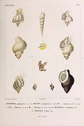 Helix shells of Terebra, Murex, Ranella and Triton from the book 'Voyage dans l'Amérique Méridionale' [Journey to South America: (Brazil, the eastern republic of Uruguay, the Argentine Republic, Patagonia, the republic of Chile, the republic of Bolivia, the republic of Peru), executed during the years 1826 - 1833] Volume 5 Part 3 By: Orbigny, Alcide Dessalines d', d'Orbigny, 1802-1857; Montagne, Jean François Camille, 1784-1866; Martius, Karl Friedrich Philipp von, 1794-1868 Published Paris :Chez Pitois-Levrault. Publishes in Paris in 1843