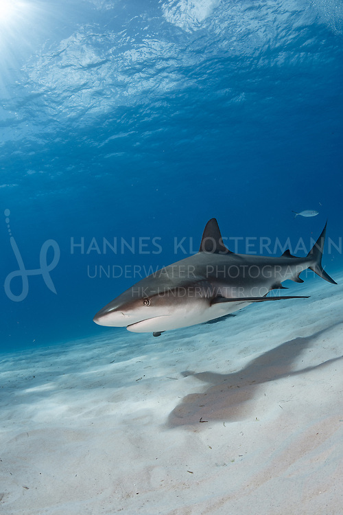When the tigers aren't around on Tiger Beach, you can always rely on those gorgeous Caribbean reef sharks to entertain you for a while!