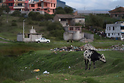 Cow grazes on the outskirts of Latacunga, city founded in 1534 and located at 2,760 meters above sea level at the base of the Cotopaxi volcano. Latacunga , Cotopaxi, Ecuador. February 18, 2013.