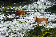 Cows grazing in a snow covered meadow March 2007