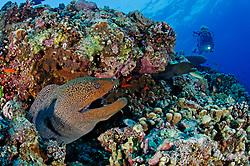 Gymnothorax javanicus, Korallenriff mit Riesenmuräne und Taucher, Giant moray eel, morayeel and scuba diver, Kleiner Bruder,Rotes Meer, Ägypten, Brother Islands, Little<br />le Brother, Red Sea, Egypt