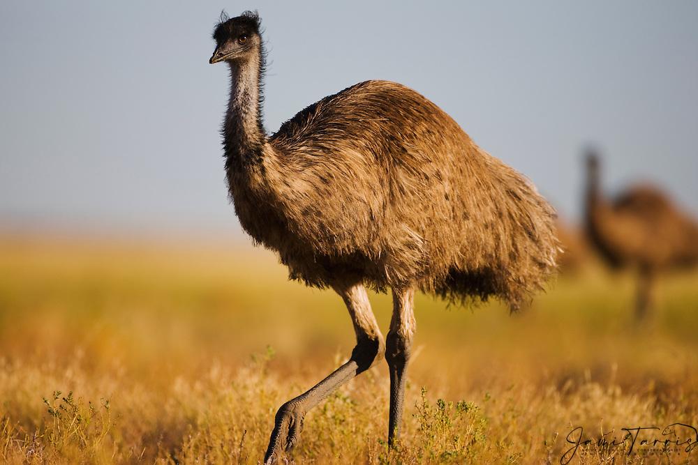An emu (Dromaius novaehollandiae) the largest bird native to Australia walks through the desert vegetation with its family group, New South Wales,  Australia