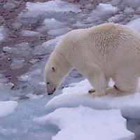 Polar Bear (Ursus maritimus) drifts on floating ice in Arctic Ocean near Franz Josef Land, Russia.
