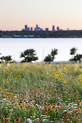 Widflowers on remnant patch of Blackland Prairie with Dallas skyline, Winfrey Point, White Rock Lake, Dallas Texas, USA