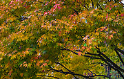 Fall leaves, colorful leaves, change of seasons, tree, leaves, branches,
