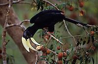 A male Black Hornbill (Anthracoceros malayanus) feeding on fruit of an aglaia tree.