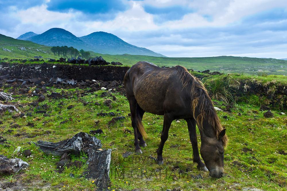 Connemara pony grazing on hill slope, Connemara, County Galway, Ireland