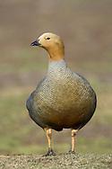 Ruddy-headed Goose - Chloephaga rubidiceps