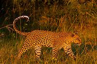 Leopard walking, Linyanti Marshes, Botswana.