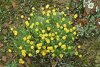 PERLITA O YERBA AMARILLA (Tymophylla belenidium), PARQUE NACIONAL LIHUE CALEL, PROV. DE LA PAMPA, ARGENTINA