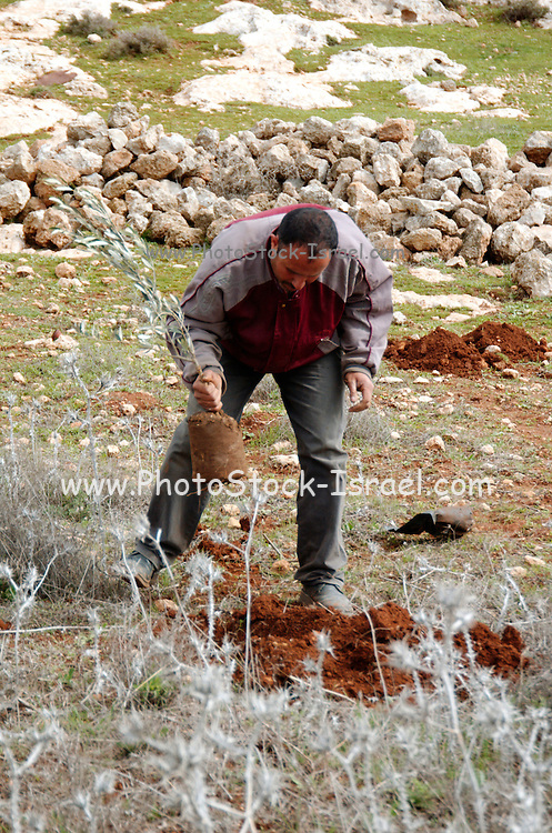 A palestinian man planting an olive tree in his olive grove